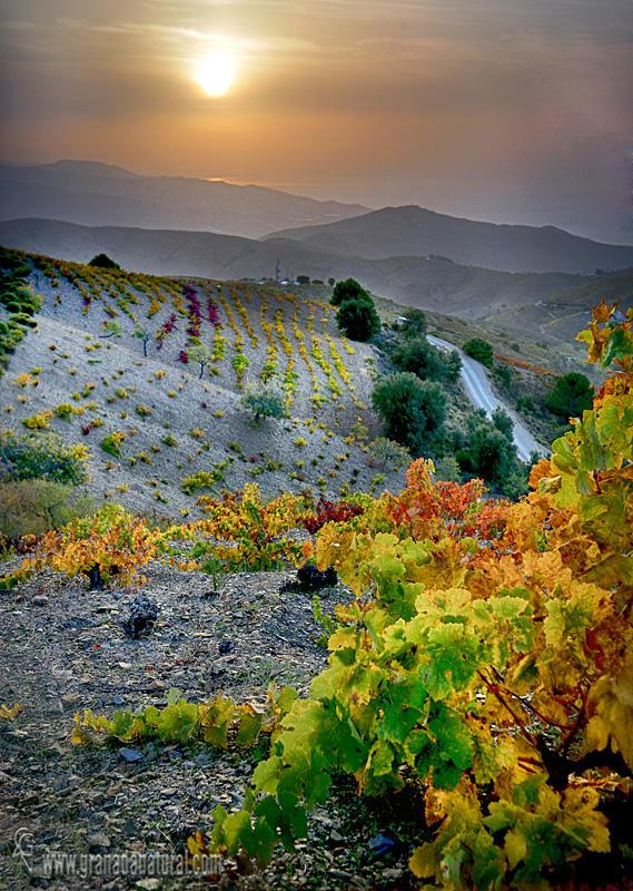 Otoño en los viñedos de la Contraviesa granadina