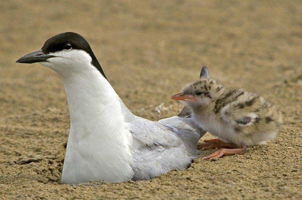 Pagaza piconegra con pollo (Gull-billed Tern) (Salvador Solé Soriano)