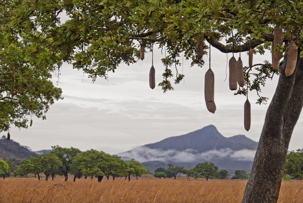 Paisaje con árbol kigelia (Salvador Solé Soriano)