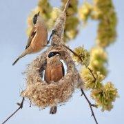 Pájaro-moscón europeo (Eurasian Penduline-tit)