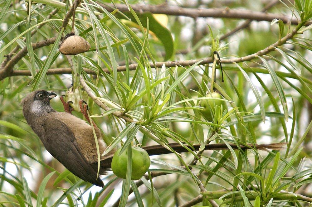 Pájaro ratón común (Speckled Mousebird) (Salvador Solé Soriano)