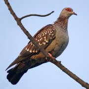 Paloma de Guinea (Speckled Pigeon)