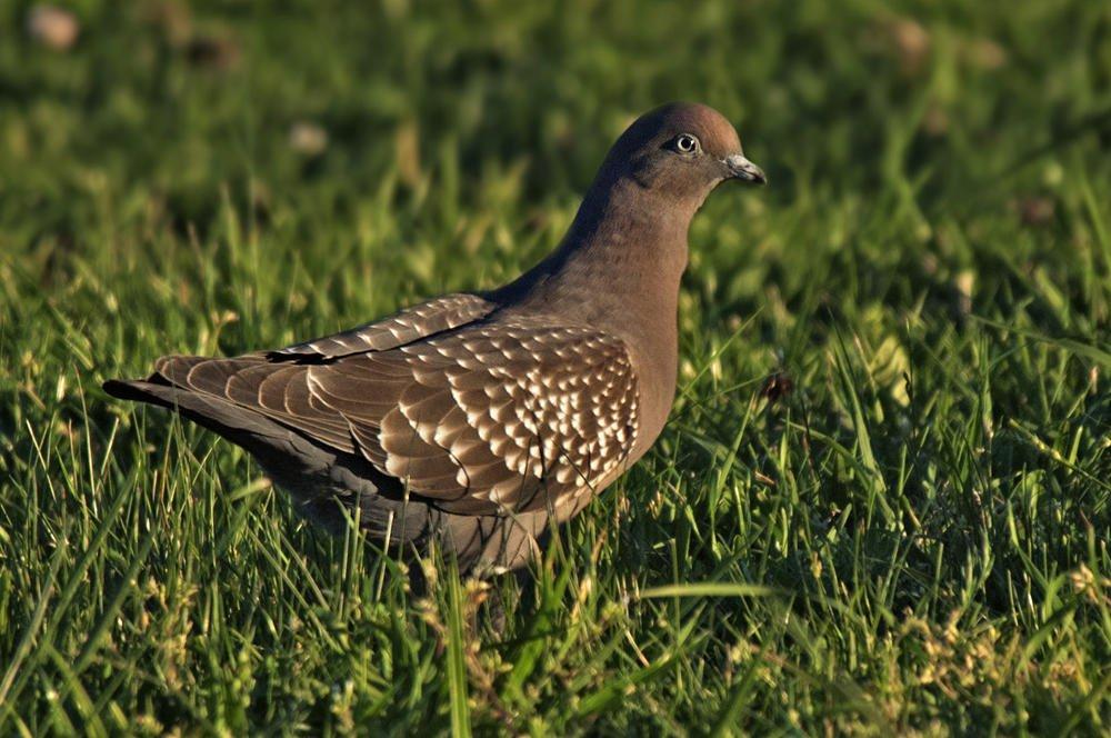 Paloma moteada (Spot-winged Pigeon) (Salvador Solé Soriano)
