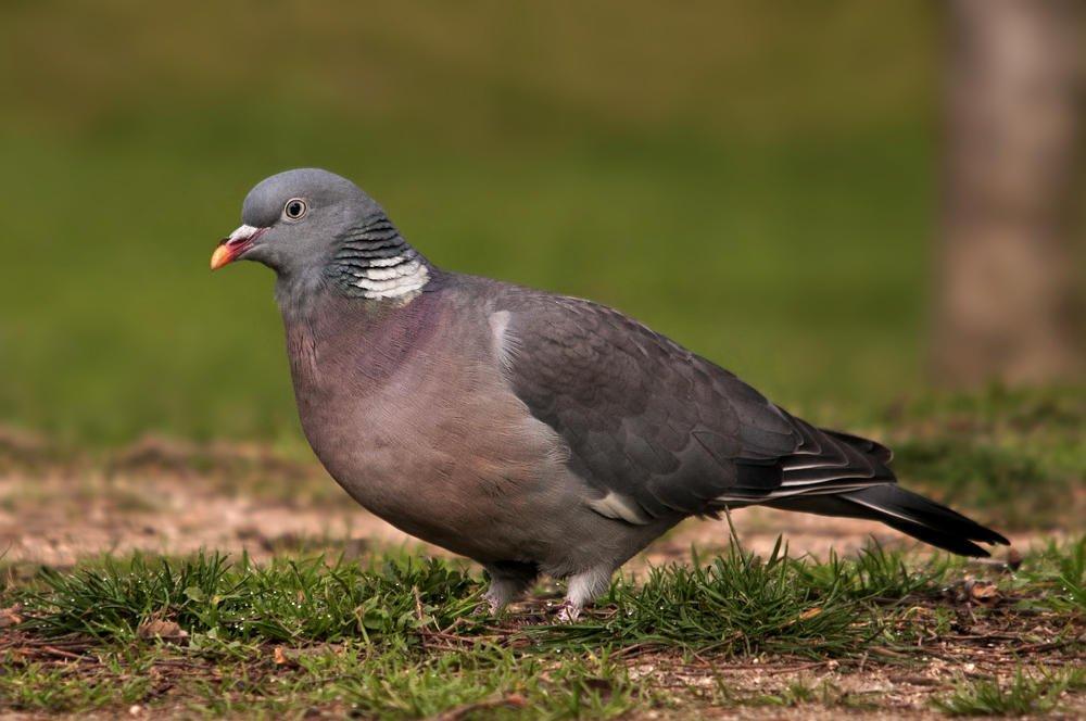 Paloma torcaz (Common Woodpigeon) (Salvador Solé Soriano)