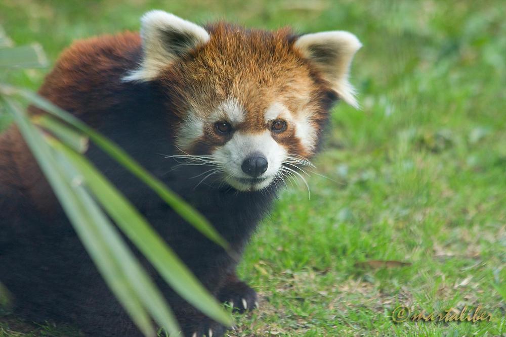 Panda Rojo (marta Liber)
