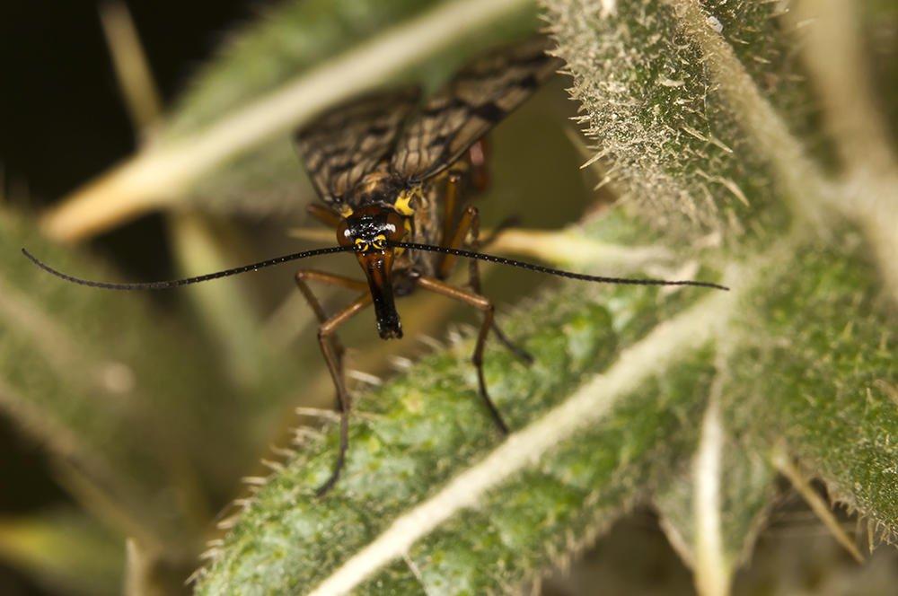 Panorpa meridionalis (Mosca escorpión) (Jaume Bobet)