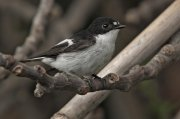 Papamoscas cerrojillo (European Pied Flycatcher)