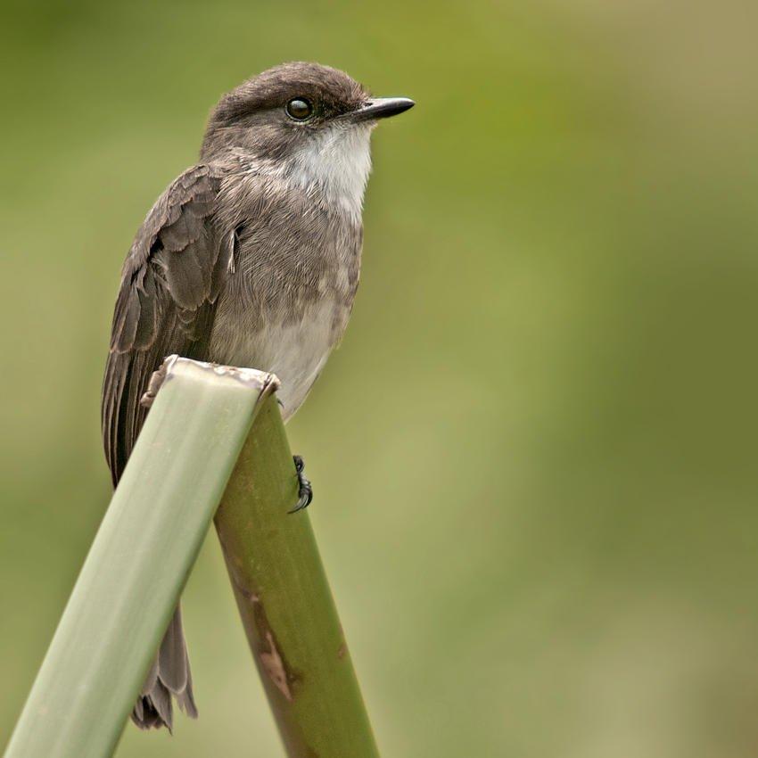 Papamoscas palustre (Swamp Flycatcher) (Salvador Solé Soriano)