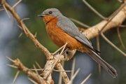 Papamoscas plateado (Silverbird)