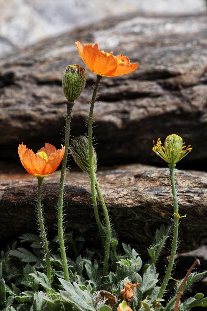 Papaver lapeyrousianum (Txema Bacaicoa (Colectivo IS))
