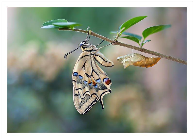 Papilio macaon (Alex Alonso)