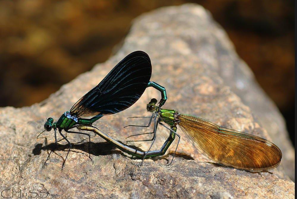 Parejas de hecho (Calopteryx virgo) (María Jesús López B.)