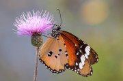 Mariposa tigre II.
