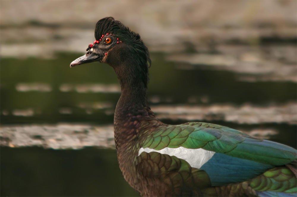 Pato criollo (Muscovy Duck) (Salvador Solé Soriano)