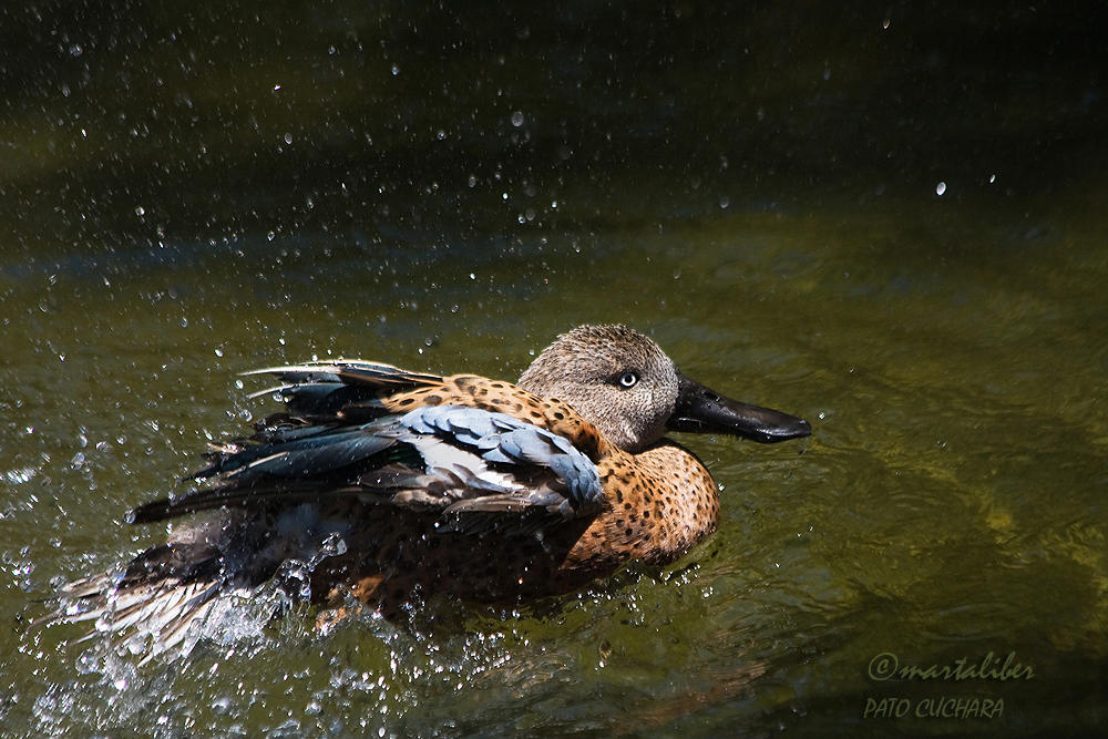 Pato cuchara (marta Liber)
