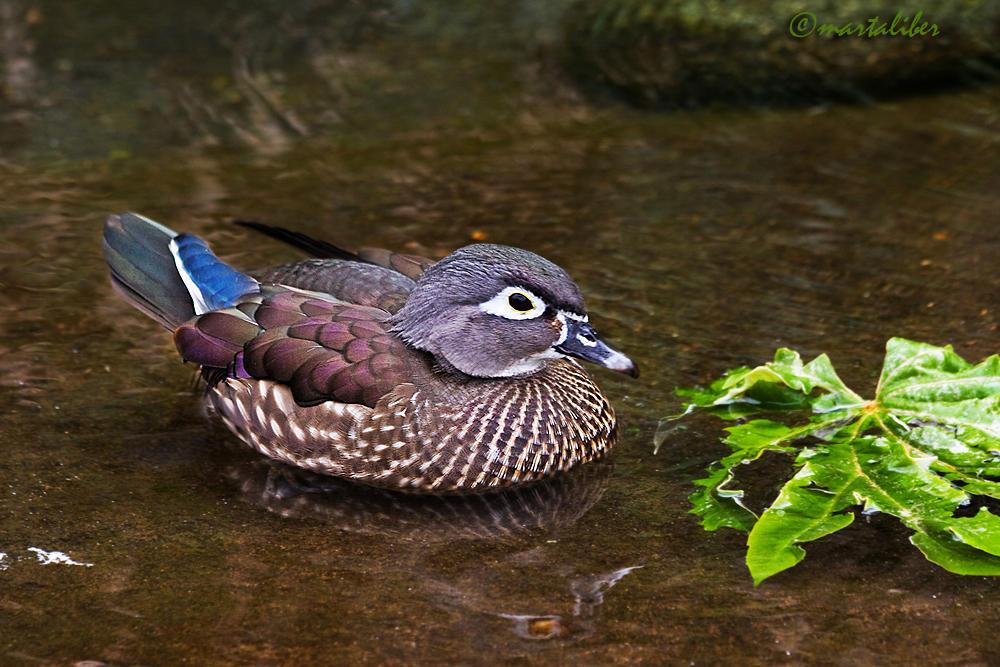 Pato Mandarín hembra (marta Liber)