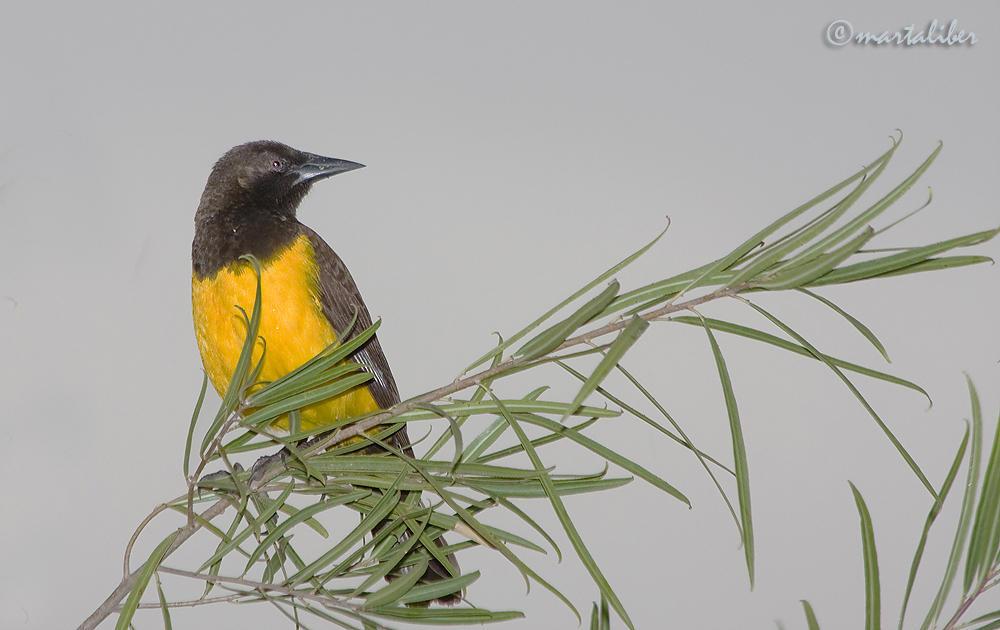 Pecho Amarillo (marta Liber)