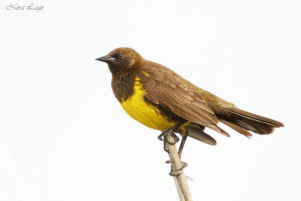 Pecho amarillo (Norma   Betty Lago)