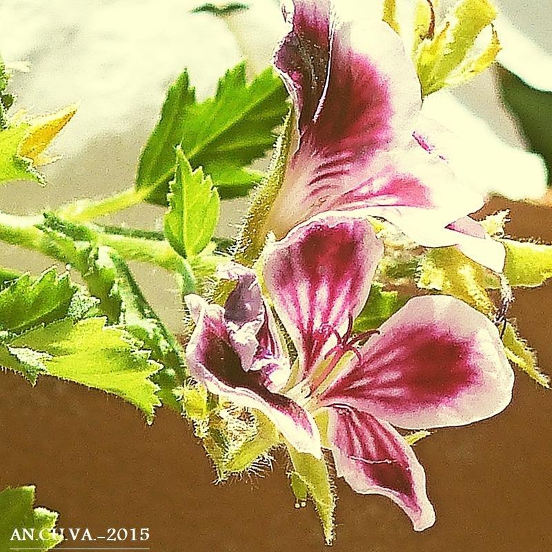 pelargonium. (Antonio Cuenca.   vaya)
