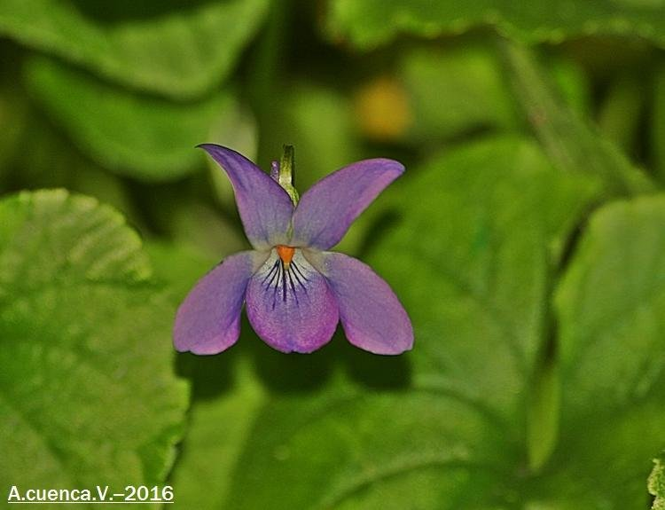 pequeña flor (Antonio Cuenca.   vaya)
