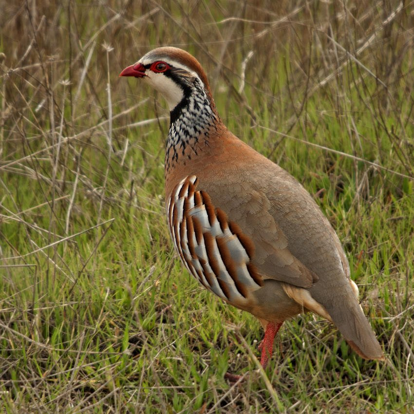 Perdiz roja (Red-legged Partridge) (Salvador Solé Soriano)