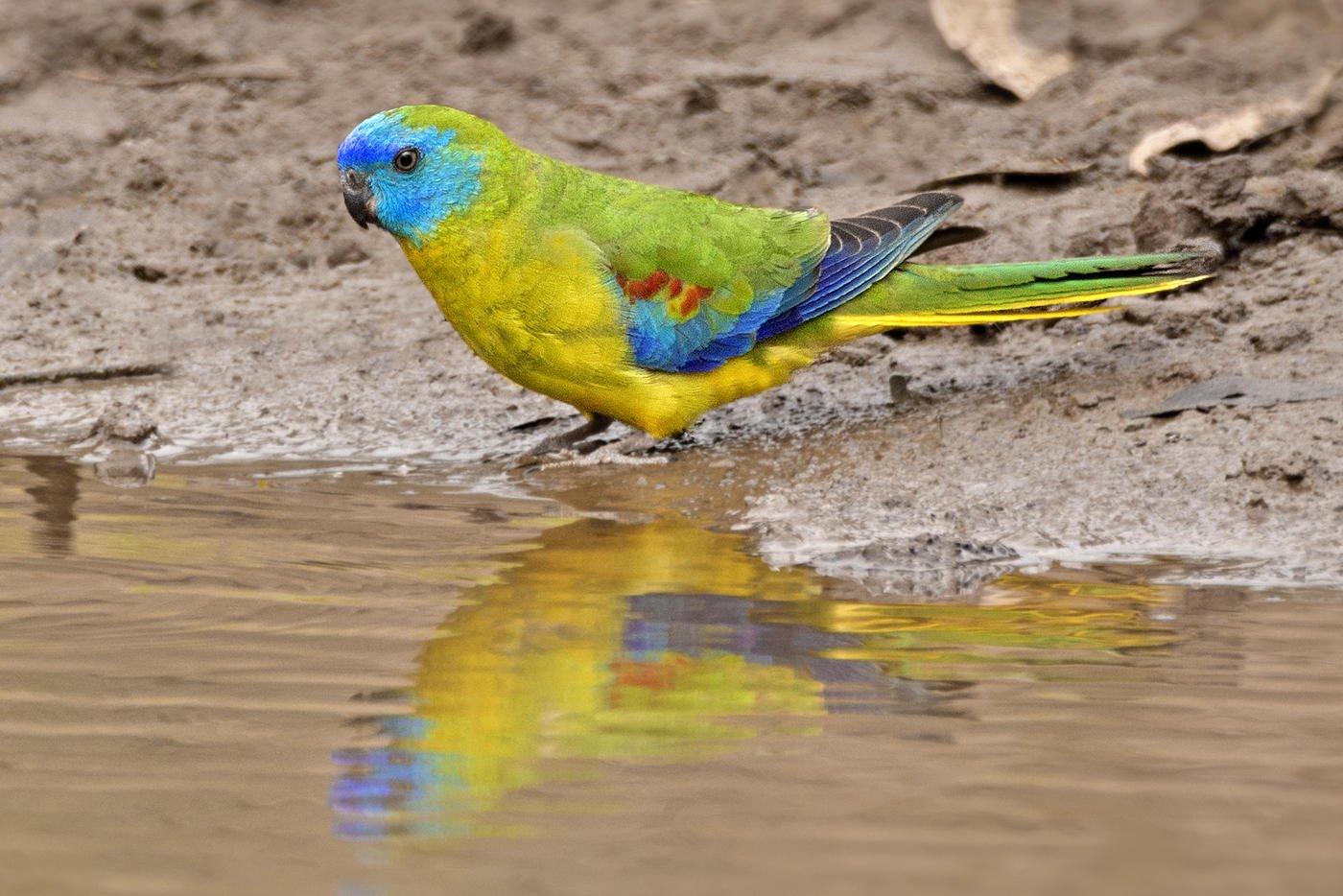 Perico turquesa (Turquoise Parrot) (Salvador Solé Soriano)