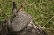 Picabueyes piquigualdo (Yellow-billed Oxpecker)
