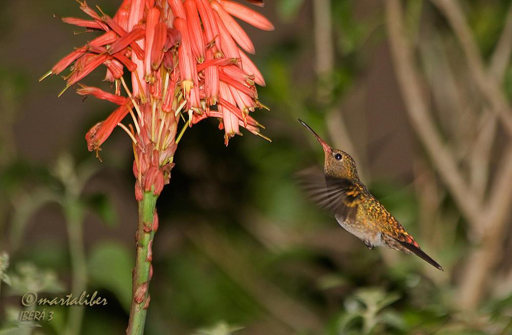 Picaflor Bronceado ( Hylocharis chrysura (marta Liber)