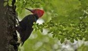 Picamaderos de Magallanes (Magellanic Woodpecker)