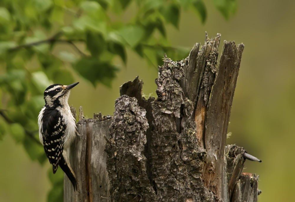 Pico velloso (Hairy Woodpecker) (Salvador Solé Soriano)