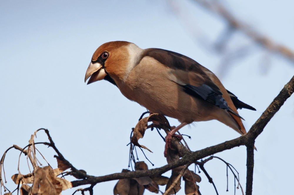 Picogordo común (Hawfinch) (Salvador Solé Soriano)