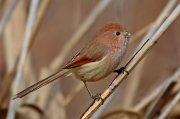 Picoloro de Webb (Vinous-throated Parrotbill)