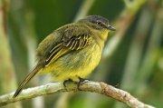 Picoplano aliamarillo (Yellow-margined Flycatcher)