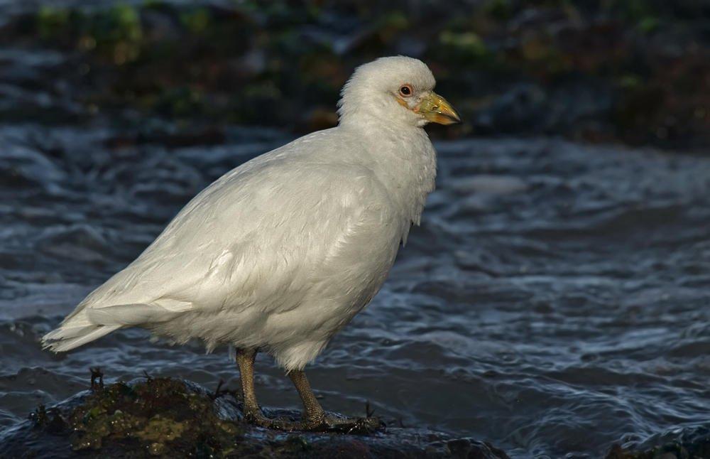 Picovaina de Malvinas (Pale-faced Sheathbill) (Salvador Solé Soriano)
