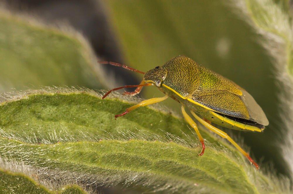 Piezodorus lituratus (Chinche del tojo) (Jaume Bobet)