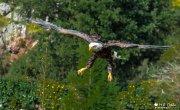 Pigargo, Aguila de cabeza blanca