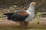 Pigargo vocinglero (African Fish-eagle)