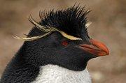 Pingüino saltarrocas (Southern Rockhopper Penguin)