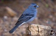 Pinzón azul (Blue Chaffinch)