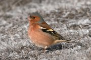 Pinzón vulgar (Common Chaffinch)