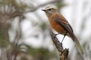 Pitajo dorsipardo (Brown-backed Chat-tyrant)