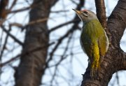 Pito cano (Grey-faced Woodpecker)