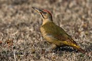Pito real ibérico (Iberian Green Woodpecker)