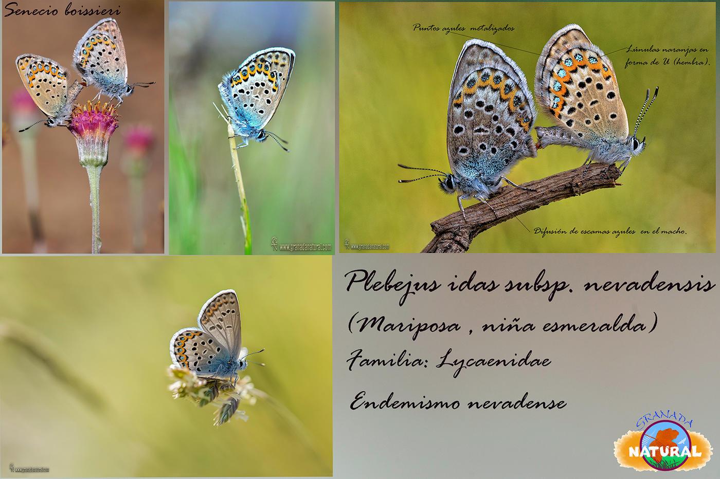 Plebejus idas subsp. nevadensis (Lucas Gutierrez Jiménez)