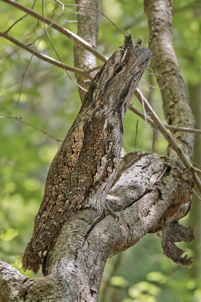 Podargo australiano (Tawny Frogmouth) (Salvador Solé Soriano)