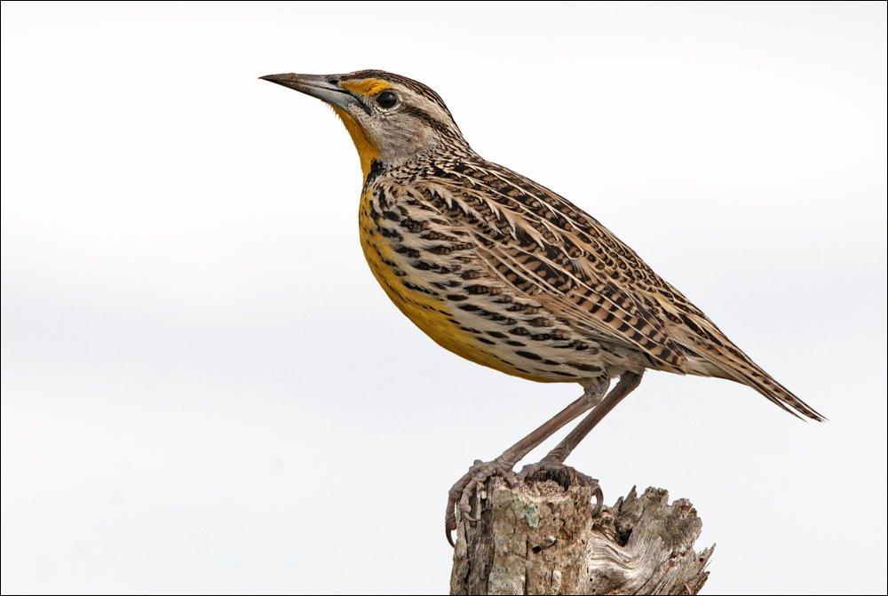 Pradero oriental (Eastern Meadowlark) (Salvador Solé Soriano)