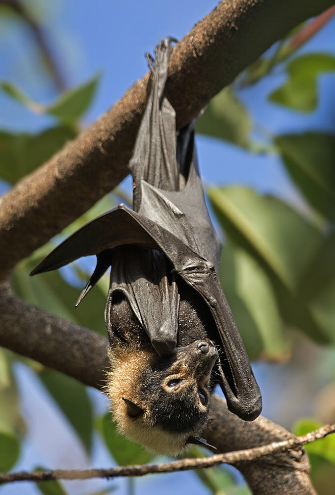 Pteropus scapulatus (Little Red Flying Fox) (Salvador Solé Soriano)