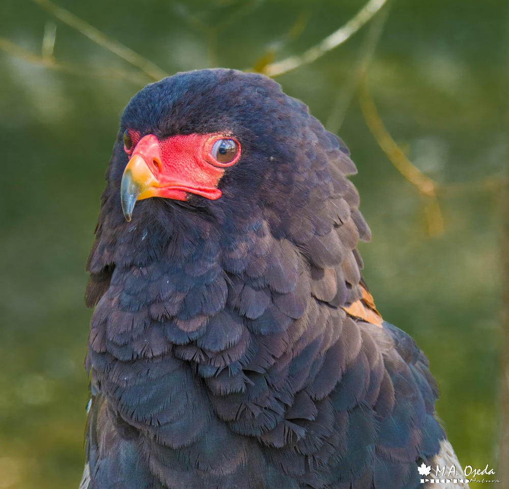Águila volatinera (Terathopius ecaudatus) (Miguel Ojeda Usillos)