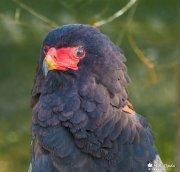 Águila volatinera (Terathopius ecaudatus)
