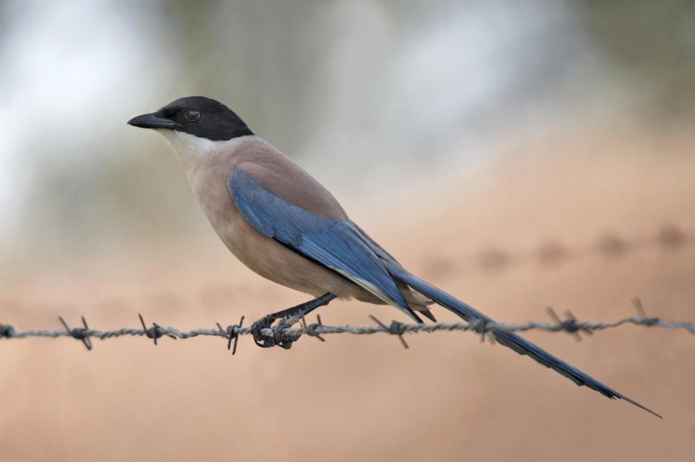 Rabilargo ibérico (Iberian Azure-winged Magpie) (Salvador Solé Soriano)